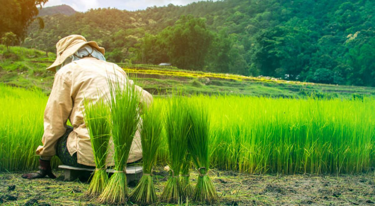 Van zaadje tot korrel: zo groeit rijst